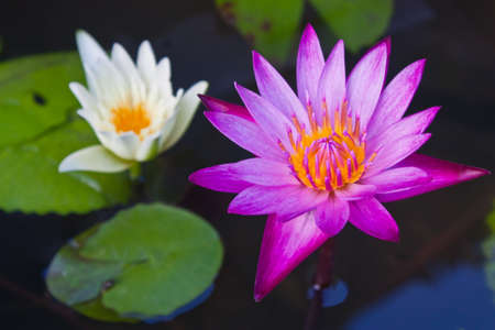 Beautiful pink lotus Stock Photo - 14894052