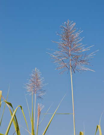 Flowering cane photo