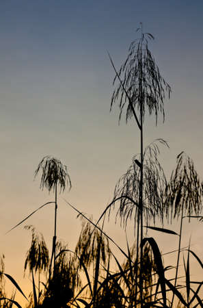Silhouette view of giant size grass plums under twilight sky photo