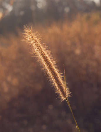 Grass plume with rim light photo