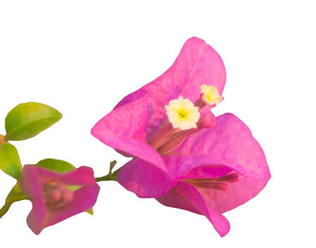panicle: Panicle of pink Bougainvillea, isolated on white background