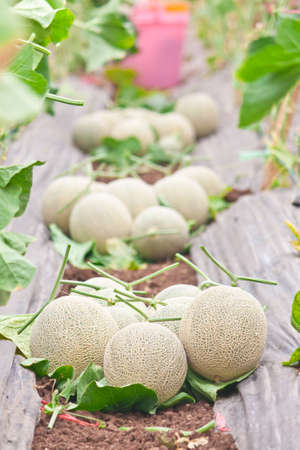stow: Stow of harvested Japanese melon in melon orchard Stock Photo