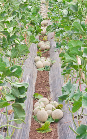 stow: Stow of harvested Japanese melons in melon orchard Stock Photo