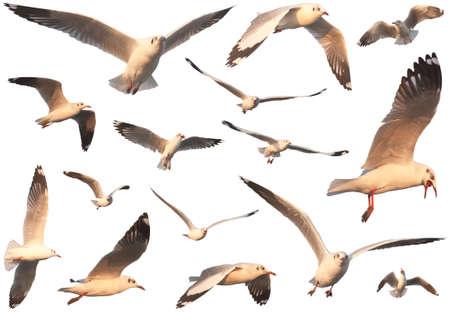 Flying seagulls, isolated on white background Stock Photo - 21074179