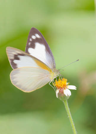 the draining: White butterfly draining nectar form tridax procumben flower