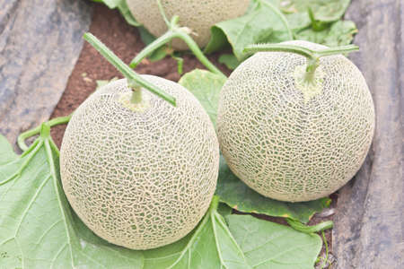 musk: Harvested Japanese musk melons in melon orchard Stock Photo