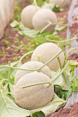 stow: Stow of harvested Japanese musk melons in melon orchard