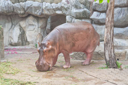 eyes cave: Hippopotamus in a zoo