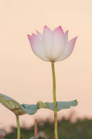 sacred lotus: Sacred Lotus under  twilight sky