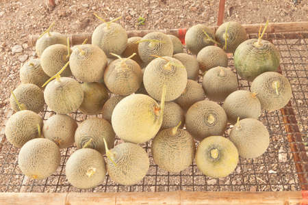 sort out: Stow of sort out low grade Japanese melons Stock Photo