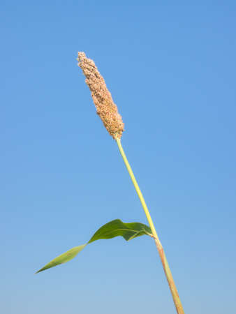 Maturing millet under clear blue sky