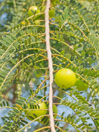 Ripe Indian Gooseberry on the tree Stock Photo