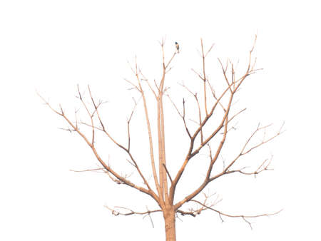 bough: Deciduous tree clipping on white background