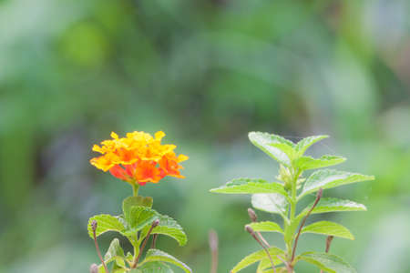 lantana: Lantana camara, Wild sage, or Cloth of gold flowers-soft focus