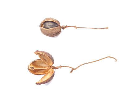 Dried bulbs of Physic Nut (Jatropha curcas) and seed isolated on white background