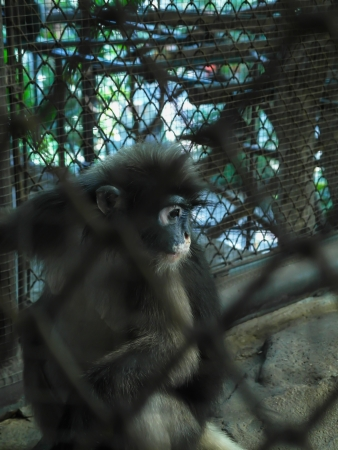 Dusky langur is rare ape in cage of zoo at Thailand. photo