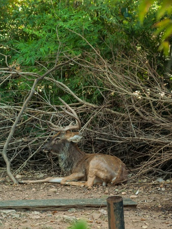 Eld s deer is the rare  mammal in Thailand. photo