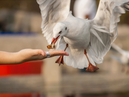 Seagull bird eating food from woman hand  photo