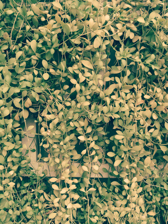 creeping plant: The beautiful creeping plant on the wall.