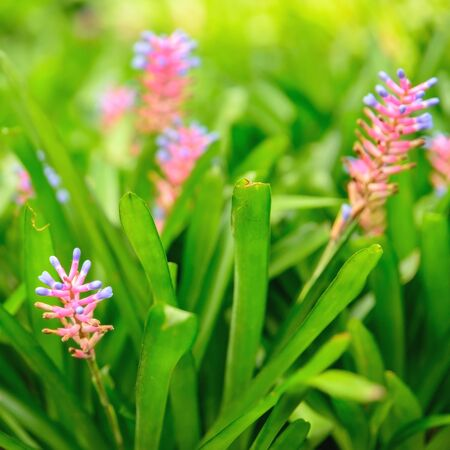 Aechmea gamosepala bromeliad is beautiful flower in the garden.