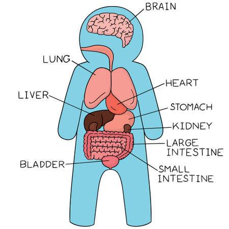 aortic valve: vector set of internal organs