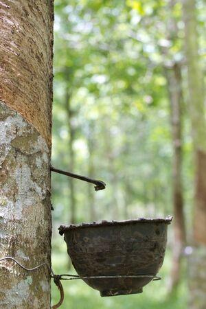 para rubber tree  Stock Photo