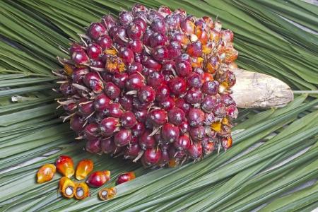 palm 0il fruit  Stock Photo