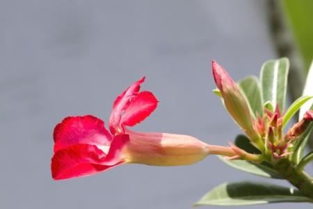 adenium pink flower  photo