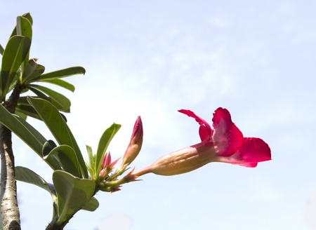 adenium pink flower  photo