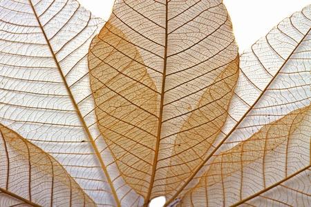 leaf transparent Stock Photo