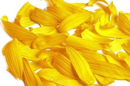 sunflowers on white background  Stock Photo
