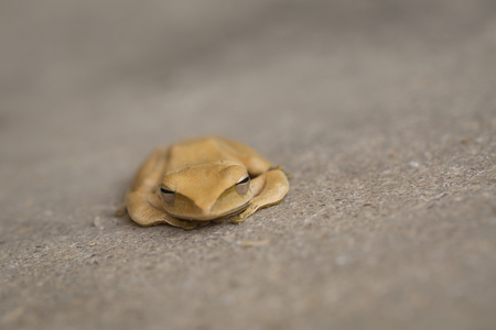 A brown frog.