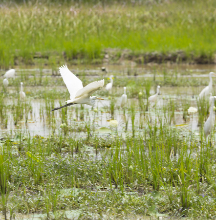 conservatory: A white birds in the swamp.