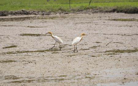 A white birds in the fields.