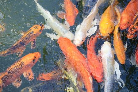 colorful carp fish. Stock Photo