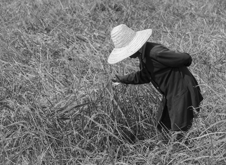 A farmer is harvest rice in the field. Stock Photo