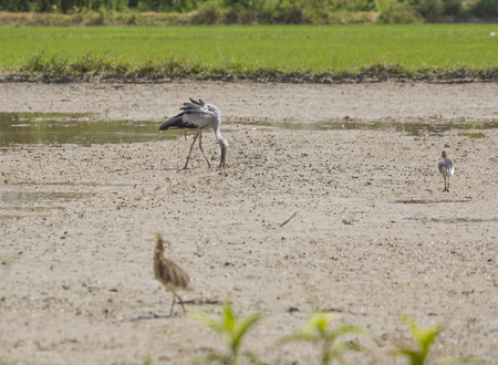 chilika: A birds in the field.