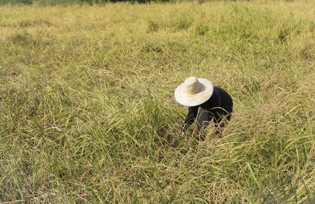 A farmer harvest rice in the field.