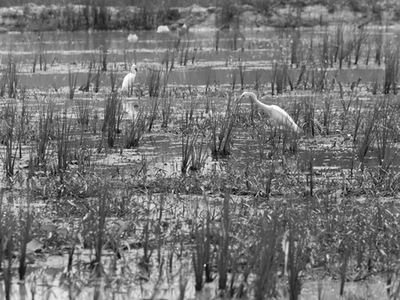 egrets: A black and white image birds in the swamp.