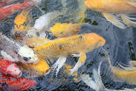 A colorful carp gold fish. Stock Photo