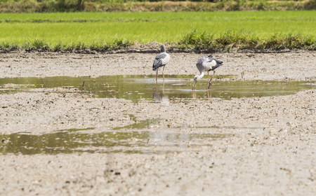 egrets: A bird in the field. Stock Photo