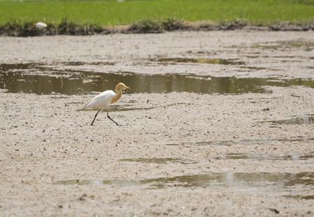 chilika: A bird in the field. Stock Photo