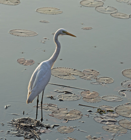 A white bird in the the  swamp.