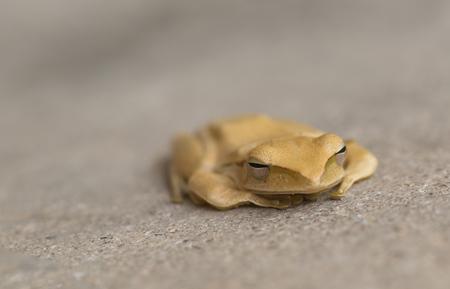A brown frog.It is looking.