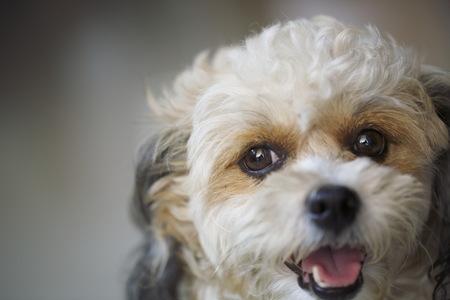 A closeup brown young dog.