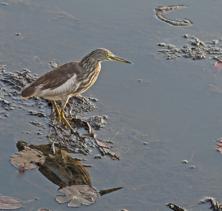 chilika: A bird in the swamp.