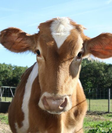 free me: Cow