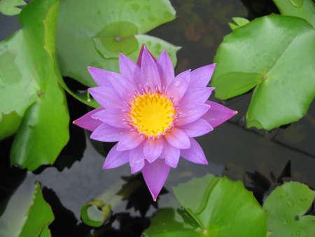 A star lotus no.2 Stock Photo - 8501509