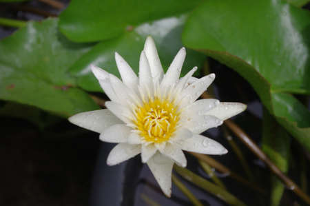 Single white lotus photo