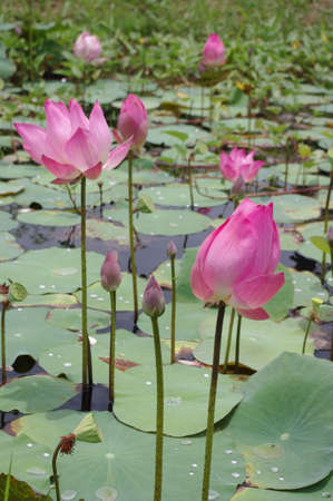 Lotus in the pond No.1 photo